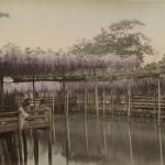 Тамамура Кодзабуро «Любование цветами глицинии в чайном доме в Камейдо, Токио» 1880-1890-е. Предоставлено: Мультимедиа Арт Музей.