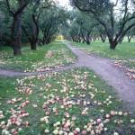 Яблочный рай в Коломенском