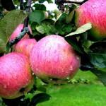 Яблоки Коломенского