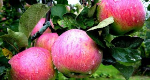 Яблочный рай.