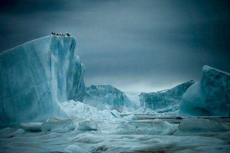 """Себастьян Коупленд """"Обыкновенные моевки на айсберге, Гренландия"""" 2010"""