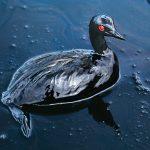 """Стив МакКарри """"Баклан, попавший в нефтяное пятно у берегов Саудовской Аравии"""" 1991"""