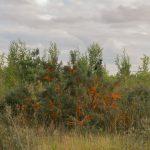Облепиха крушиновидная, о. Котлин, 2015 Фото: Илья Долгов