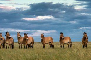 Лошадь Пржевальского: последняя дикая лошадь на Земле.