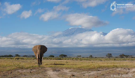 Александр Яниш «Килиманджаро» (Kenya, Amboseli National Park). Предоставлено: © Фестиваль «Золотая Черепаха»