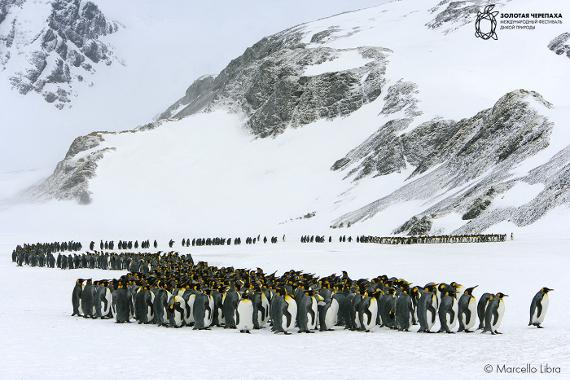 Марчелло Либра «Королевский пингвин» (Antarctica, South Georgia Island). Предоставлено: © Фестиваль «Золотая Черепаха»