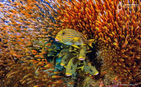 Андрей Замятин «Салют» (Indonesia, Raja Ampat). Предоставлено: © Фестиваль «Золотая Черепаха»