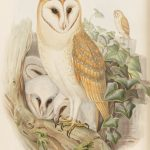 """John Gould """"The Birds of Great Britain"""" 1873"""