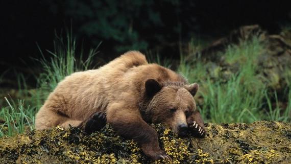 Спящий бурый медведь. Предоставлено: Государственный Дарвиновский Музей.