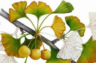 Оживший цветок Панацеи. Лекарственные растения мира.